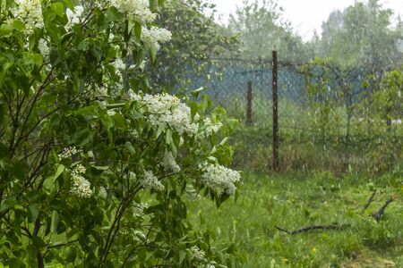 Spring outside the city. Village garden during the rain. Lilac bush with white flowers under streams and drops of water.