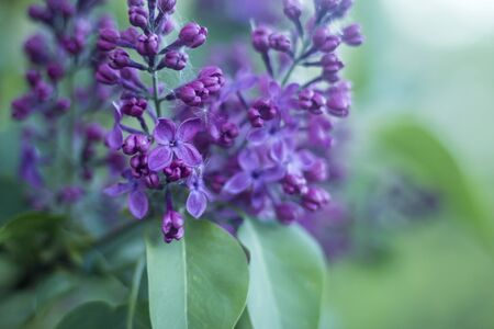 Spring time. Purple lilac flowers in a country garden. Close up . Against the background of fresh green foliage. Stok Fotoğraf