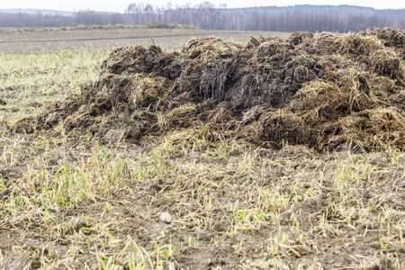 Early spring. Manure mixed with straw is prepared to fertilize the field. Close up. Forest in the background. Milk farm . Podlasie, Poland.