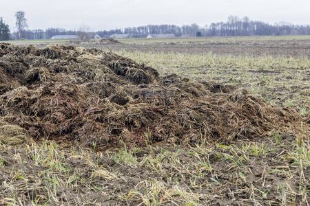 Early spring. Manure mixed with straw is prepared to fertilize the field. Close up. Barns  in the background. Milk farm . Podlasie, Poland.