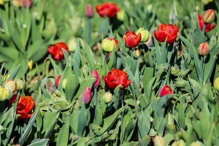 Red tulips, green buds growing on the lawn. Close up. A good background for a site about flowers, floriculture, art. Imagens