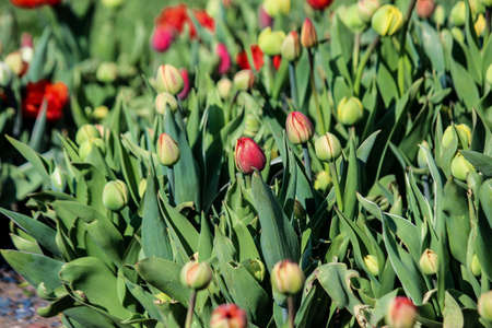 The green tulip buds are starting to bloom. Close up. A good background for a site about flowers, floriculture, art. Imagens