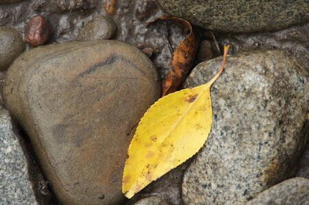 Gold leaf floating between rocks in Colorado stream Stock Photo - 15804467