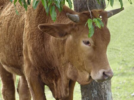 seeks: a brown cow seeks shade under a tree Stock Photo