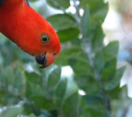 king parrot: The watchful eye of a male Australian king parrot as he forages for pods from an acacia tree to feed on the wattle seed.