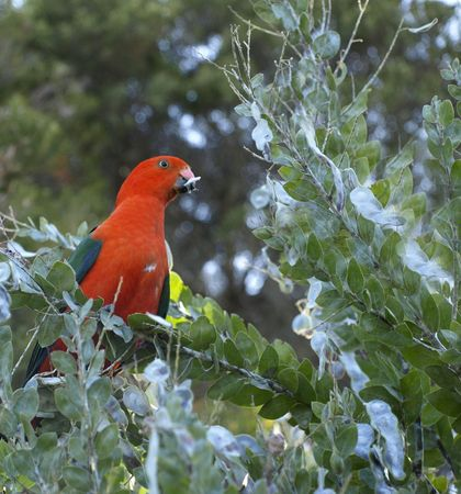 king parrot: Male australian king parrot foraging in acacia trees for wattle seeds Stock Photo