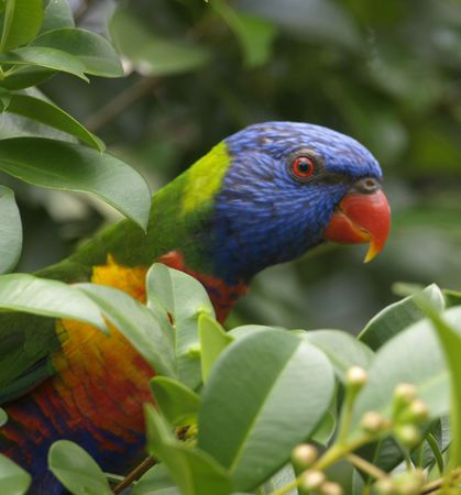 Beautiful australian rainbow lorikeet feeding in a lillypilly tree photo