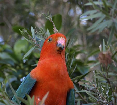 king parrot: a male king parrot keeps a careful watch as he searches for fresh seed pods