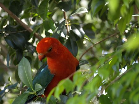king parrot: male king parrot  Stock Photo