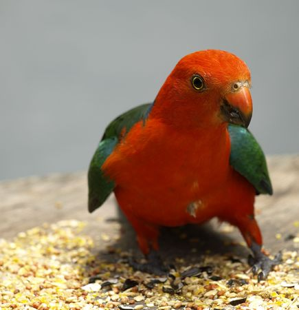 king parrot: australian  male king parrot keeps watch as he feeds  on sunflower seed Stock Photo