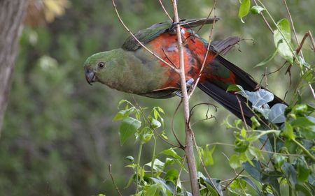 king parrot: female king parrot with dull green head and blackish beak is not as colourful as the red headed male Stock Photo