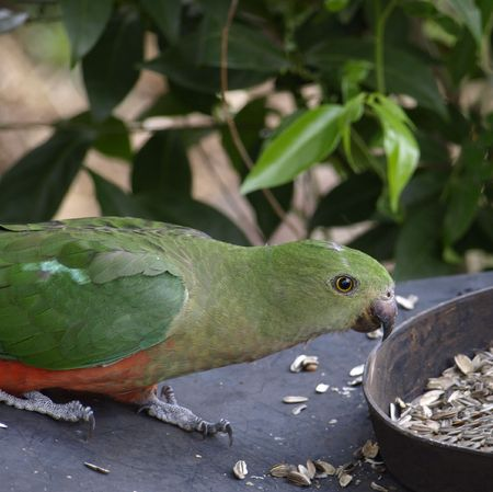underbelly:  female king parrot with its green head, grey beak and red underbelly