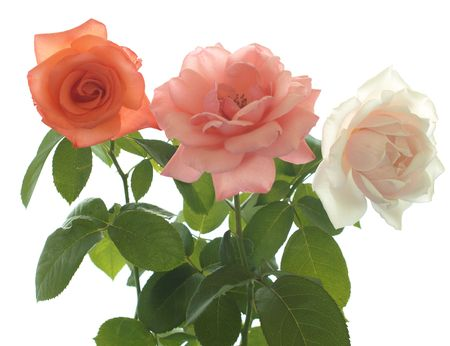 roses  isolated on a white background