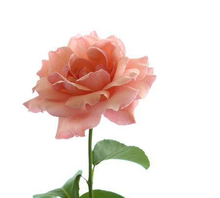 valentines day symbol pink rose isolated on a white background