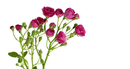 bunch of cerise red roses isolated on a white background for valentines day or mothers day