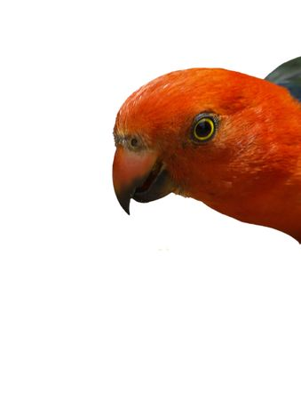 king parrot: read headed king parrot on a white background Stock Photo