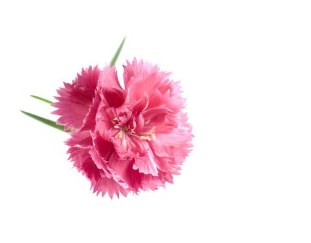 pink valentine carnation isolated on a white background Stock Photo