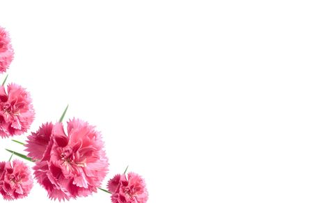 carnations: pink valentine carnations isolated on a white background Stock Photo