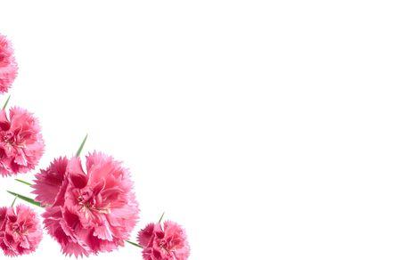 clavel: rosa de San Valent�n claveles aisladas sobre fondo blanco