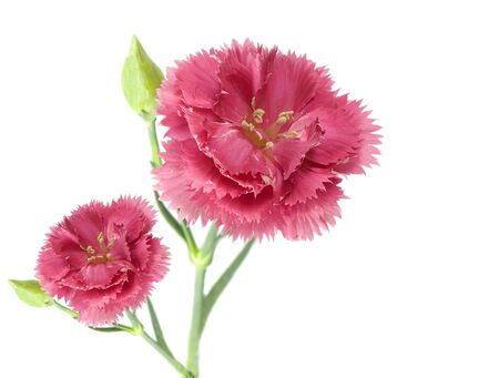 two pink carnation flowers isolated on a white background Foto de archivo