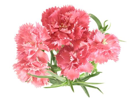 posy of carnations isolated on white background photo
