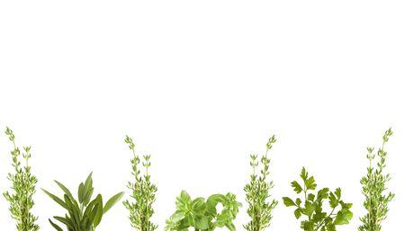 fresh herbs for border photo