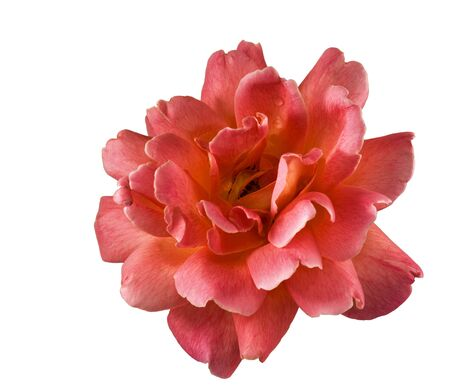 beautiful rose flower isolated on white background pink yellow Stock Photo
