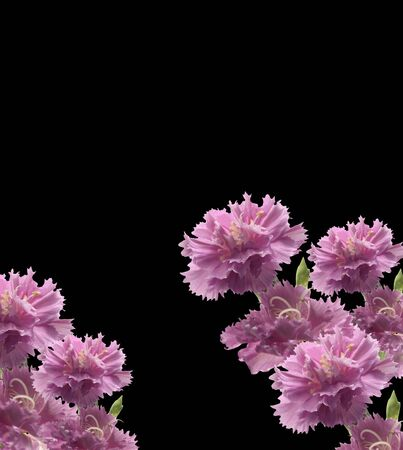 mother'sday: mothersday carnations isolated on black background Stock Photo