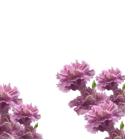 posy of beautiful carnations isolated on white background