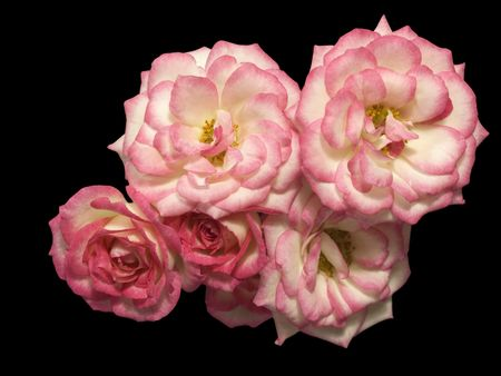 posy of miniature pink roses isolated on black background