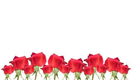 spring red rose flowers border on white