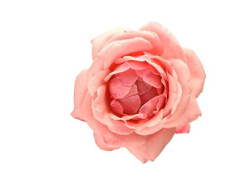 spring pink rose flower isolated on white background Stock Photo
