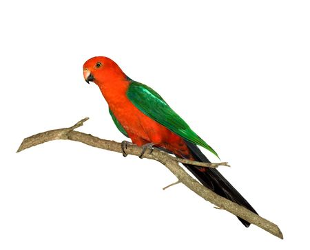 king parrot: red headed king parrot Alisterus scapularis australian native bird isolated on white background Stock Photo