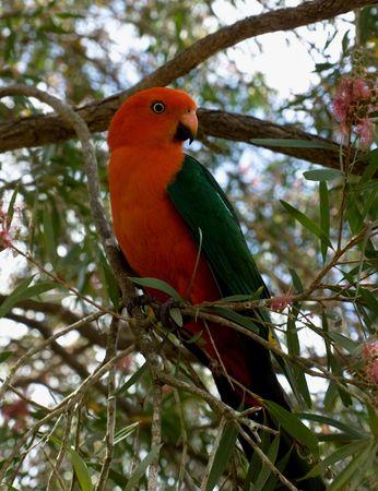 red headed king parrot Alisterus scapularis australian native bird in Callistemon bottlebrush tree