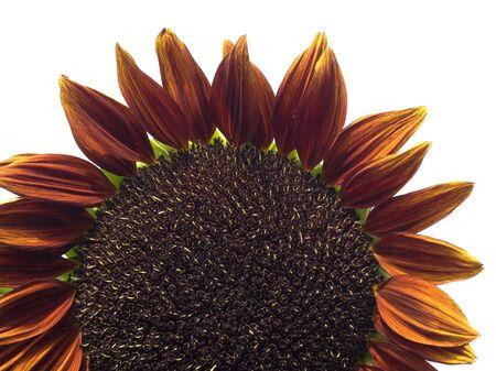 helianthus annuus: giant sunflower Helianthus annuus Royal Velvet isolated on white Stock Photo