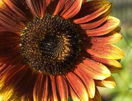 helianthus annuus: red yellow flower sunflower Helianthus annuus Royal Velvet colored variety