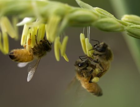honey bees on corn flower working collecting pollen Stock Photo