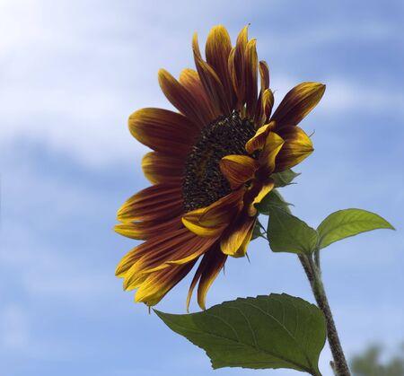 helianthus annuus: sunflower Helianthus annuus Royal Velvet sun flower with blue sky