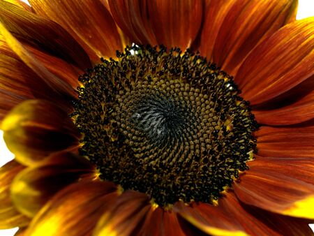 giant sunflower: giant sunflower Helianthus annuus Royal Velvet red colored variety close up Stock Photo