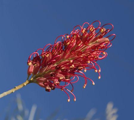 única flor roja grevillea australiana planta nativa  Foto de archivo - 7394667