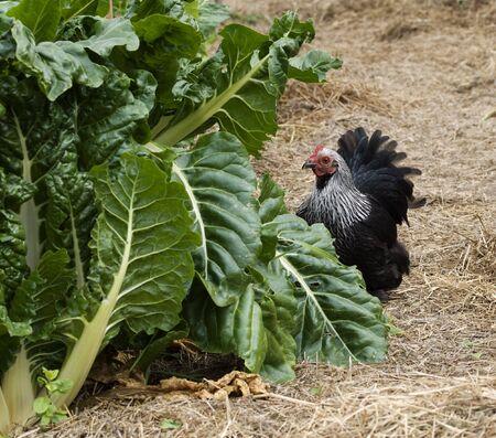 backyard self suffiiciency - organic gardening green spinach silverbeet and foraging birchen hen bantam