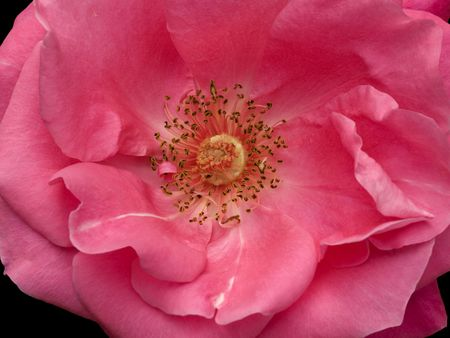 Anatomy Of A Pink Rose Flower Bloom Closeup