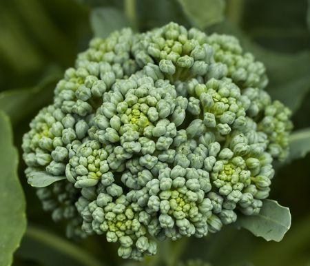 flower head of fresh organic  broccoli homegrown vegetable in garden