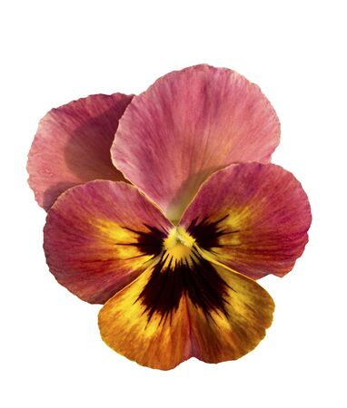 single pansy flower blossom isolated on white background