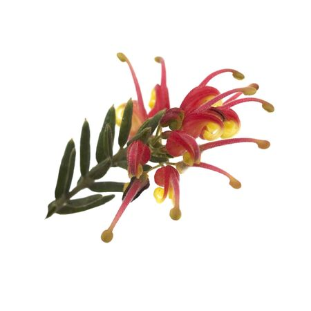 Spring bright red and yellow flower of Grevillea Fireworks australian native isolated on white
