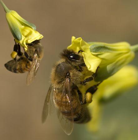 miel de abeja: abejas de miel de primavera ocupado recolectando polen de flores de color amarillo de br�coli en jard�n org�nico