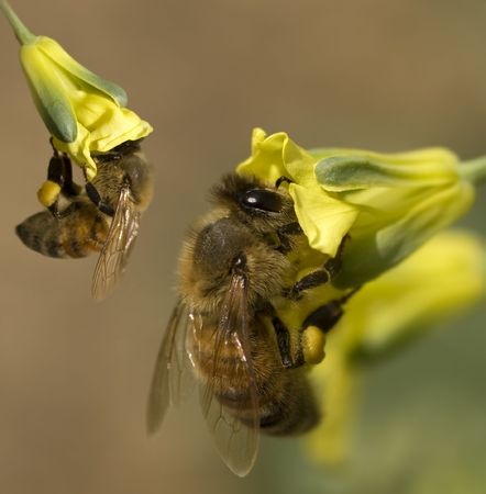 worker bees: busy spring honey bees collecting pollen from yellow broccoli flowers in organic garden Stock Photo