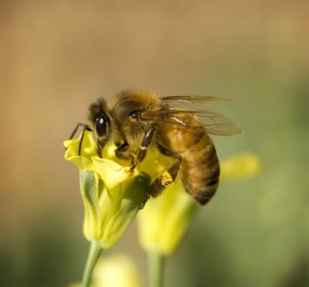 bees: busy worker bee collects pollen from yellow spring broccoli flower in organic garden