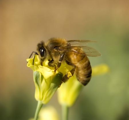 avispa: trabajador ocupado abeja recopila polen de primavera amarilla flor de br�coli en jard�n org�nico