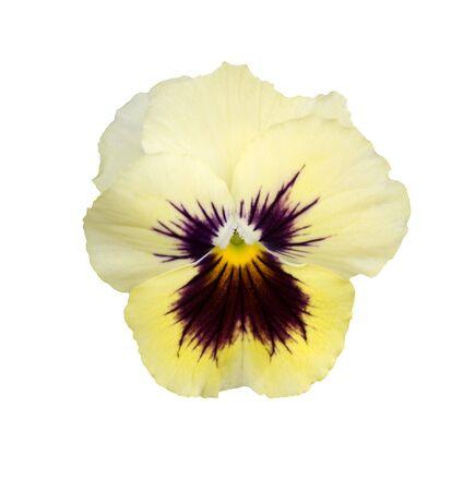 single spring yellow cream velvet pansy flower blossom isolated on white background Foto de archivo